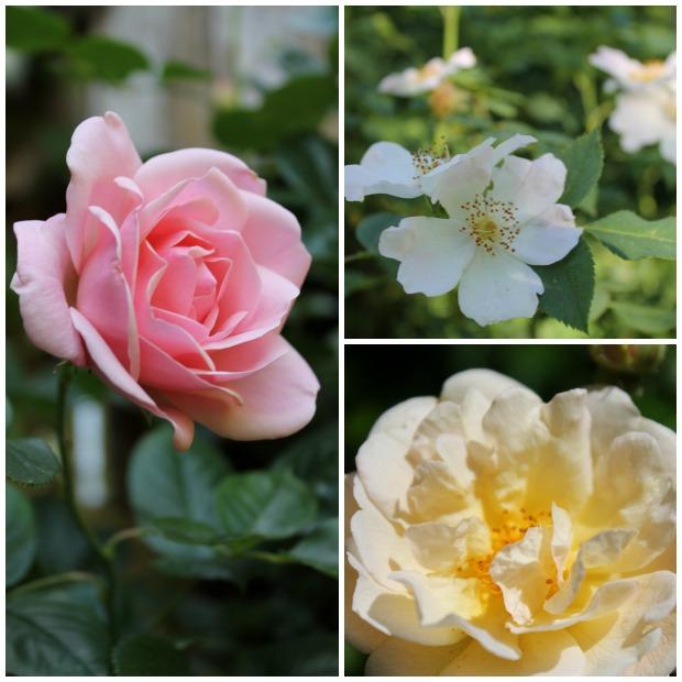 Rosen im Juni | Gesche Santen Blog