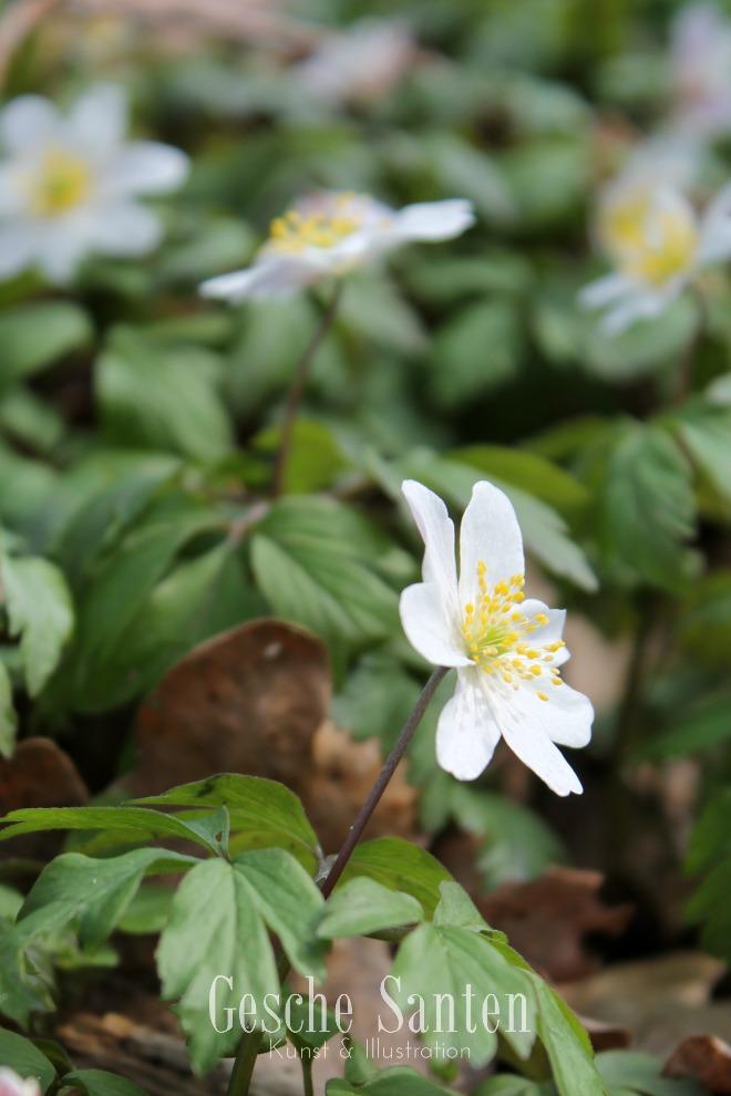 Buschwindröschen: Ein Spaziergang im Frühlingswald - Kleine botanische Entdeckungsreise und Skizzenbuch-Inspiration