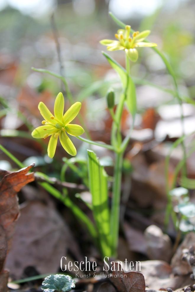 Wald-Gelbstern Ein Spaziergang im Frühlingswald - Kleine botanische Entdeckungsreise und Skizzenbuch-Inspiration