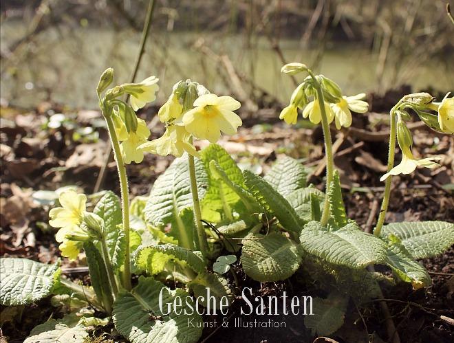 Schlüsselblume Ein Spaziergang im Frühlingswald - Kleine botanische Entdeckungsreise und Skizzenbuch-Inspiration