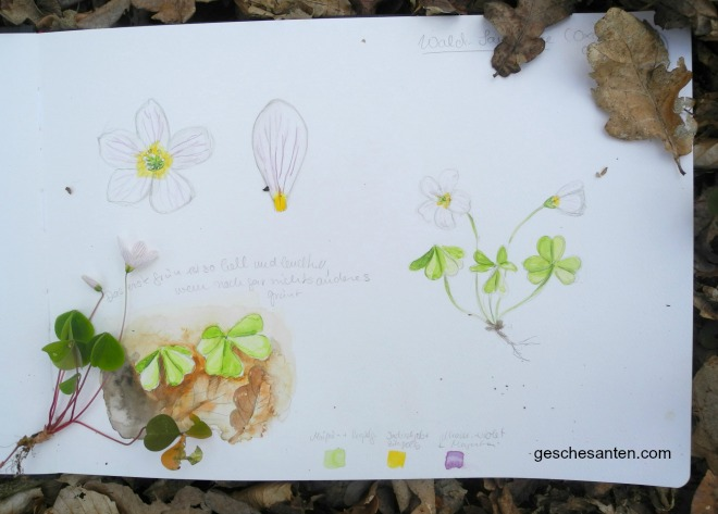 Naturskizzenbuch Sauerklee (Oxalis acetosella) in Aquarell - Gesche Santen