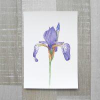 Sibirische Schwertlilie (Iris sibirica) Kunstdruck DIN A5