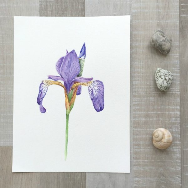 Sibirische Schwertlilie (Iris sibirica) Original Aquarell