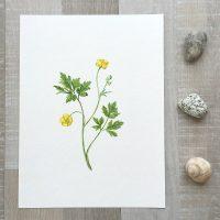 Ranunculus-Ori-2